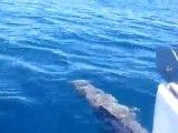 Flipper le Dauphin très bon nageur d'étrave