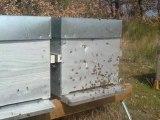 sortie abeille  printemps 2011