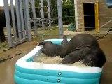 Bébés éléphants prennent leur bain - Trop mignon