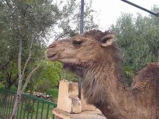 Un chameau boit un coca cola en Lybie [Buzz Lol]