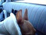 27mars mon chien , mon pinscher