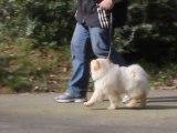 Ecole du chiot - Education canine 06 et 83 - Apprentissage marche au pied et assis - Chiot chow chow 3 mois