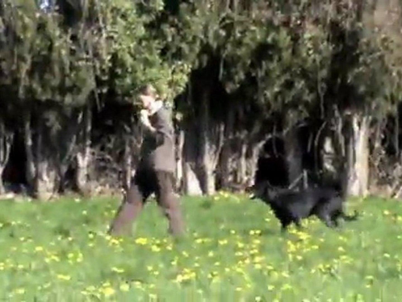 Calypso, chienne beauceron en concours troupeau