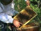 Claude Poirot et ses abeilles au boulot (Vendée)