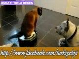 Sevimli Kedinin Oyuncağıyla Köpeğe Hava Atması :)