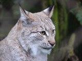 Lynx boréal - son 2
