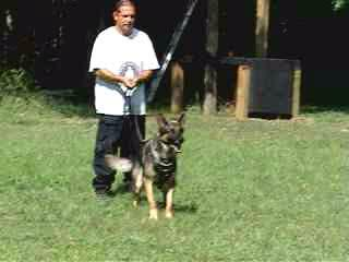 Schutzhund trained German Shephard