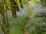 Lundi 11 Avril 2011 Tapis de Jacinthes des bois