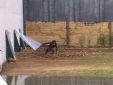 1ère sortie des bonobos de la Vallée des Singes (Romagne, 86 - France)