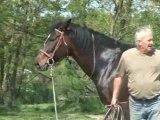 Travail du cheval d'obstacle a la longe..élévation des épaules