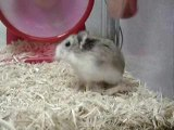 Animaux hamster roue