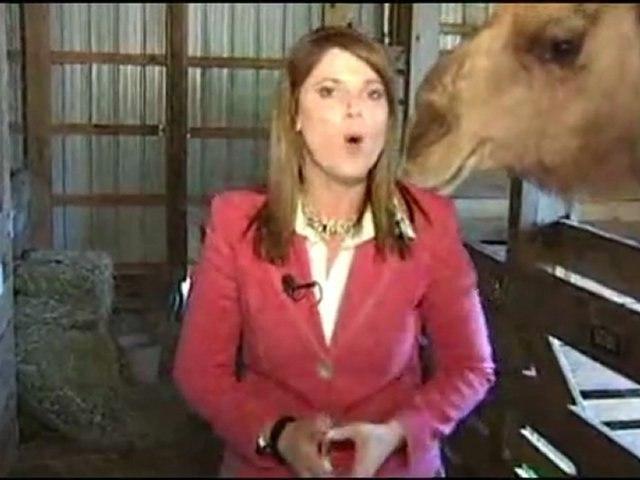 Il cammello mangia i capelli della reporter