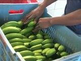Commerce équitable : impact en République Dominicaine, des producteurs acteurs dans leur communauté
