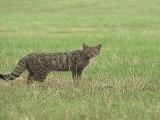 """Chat  sauvage (Le petit monde du chat forestier """"le film"""")"""