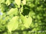 Feuilles dans le vent (Forêt de Lespinasse, vers Roanne)