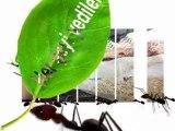 Karıncalar isyanda