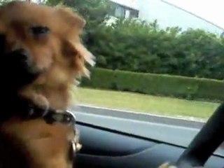 Chien qui conduit une limousine avec des meufs bonnes à l'intérieur posé tranquille