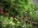 Entretien autour de la fraise