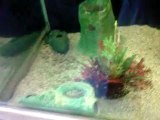 "Mon aquarium avec mes 3 ""piranhas"" végétariens :)"