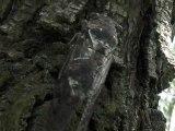 Stridulation  de cigale sur un olivier