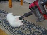 Miss Dyson, le premier chat compatible avec les aspirateurs