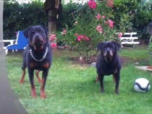Rottweiler- Rhapsodie & Balzac