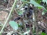 Oiseaux-lyres dans les Dandenong Ranges