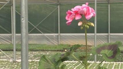 How To Plant Geraniums