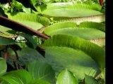 Les plantes tropicales aquatiques des serres du Jardin Botanique du Montet
