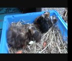 Repas bébés cochons d 'inde Texel Mérinos