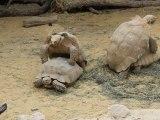 Reproduction des tortues terrestres en direct à la ferme aux crocodiles de Pierrelatte dans la Drôme