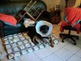 meme avec la collerette ,elle bouffe le canape ! 001