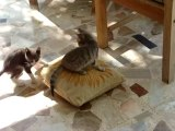 Chatons; combat pour le trône/ Kitten; struggle for the throne