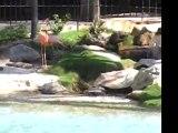 Flamingos at the Fairmont Acapulco Princess pool, Mexico