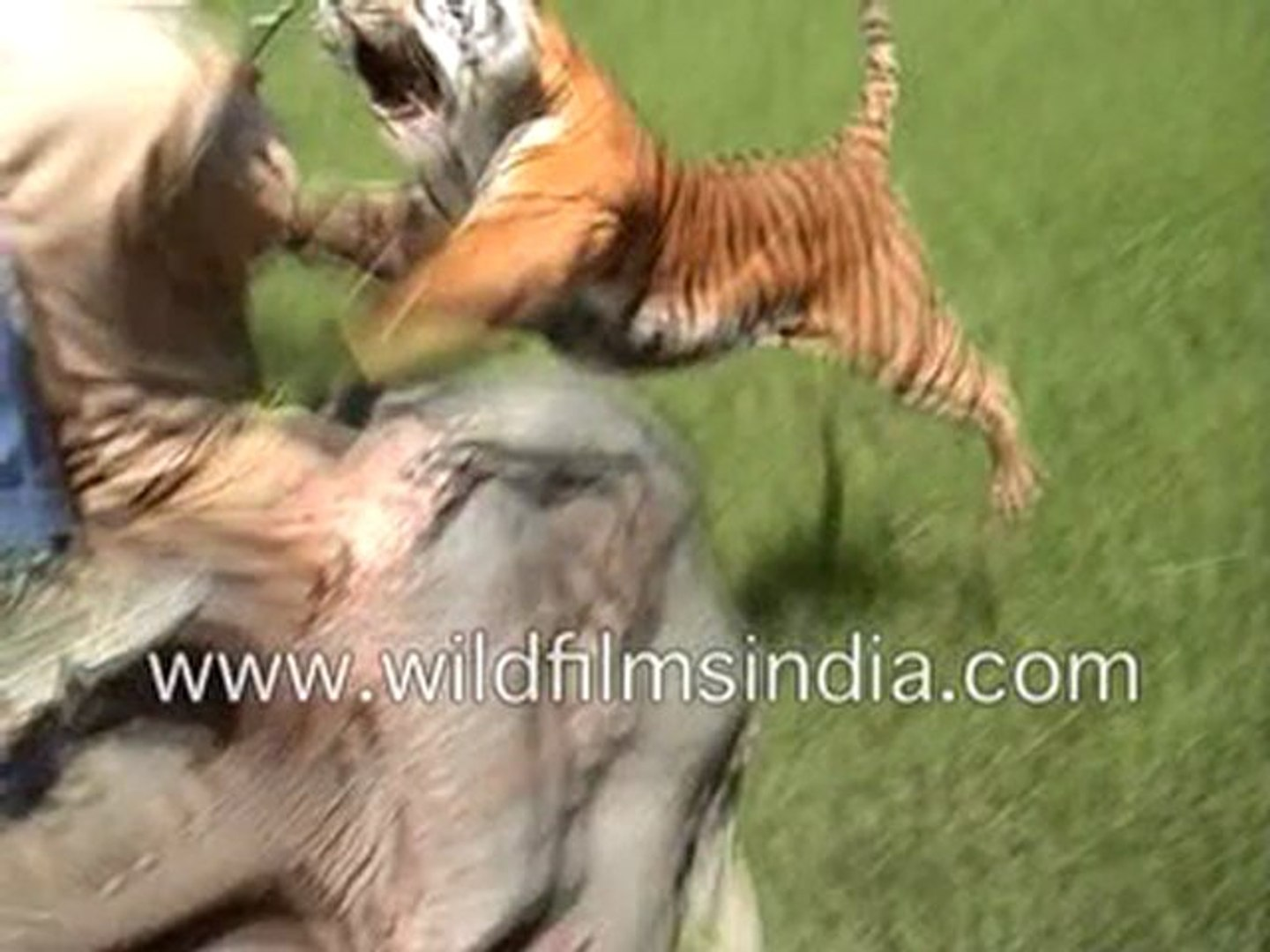 Tiger Attacking A Man On An Elephant Video Dailymotion