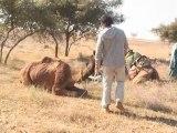 13 - Breve introducción al adiestramiento de camellos - Viaje a India de mochileros