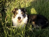 Bearded collie Dog Breed Video