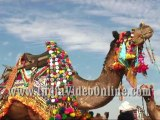 Decorated camel03, Camel festival