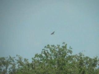 Cigogne noire le 9 août 2011