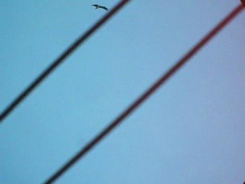 Cigognes noires bois de Fou 10 août  2011
