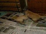 Chiots Golden Retriever 6 semaines - Quart d'heure de folie 1/3