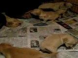 Chiots Golden Retriever 6 semaines - Quart d'heure de folie 2/3