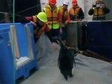 Happy End für Happy Feet: Pinguin schwimmt in die Heimat zurück