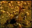 Exemples de fossiles vivants: Scorpion