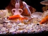 MOV05775 Mon aquarium de poissons rouges et de poissons sauvages .