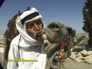 HOW TO KISS A CAMEL, JERUSALEM, ISRAEL