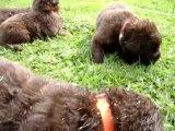 chiots bonny élevage de VALOYAN TERRE NEUVE MARRON BRONZE 25.09.2011