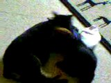 Video un chat sauve chien