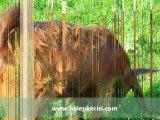 şam keçisi,şami,şami keçileri ,şami keçisi özellikleri