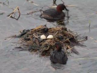 un couple de grèbes castagneux entretiennent leur nid